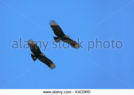 Rabengeier, Raben-Geier (Coragyps atratus), fliegendes Paar, USA, Florida, Myakka Nationalpark | American black vulture (Coragyp - Stock Photo