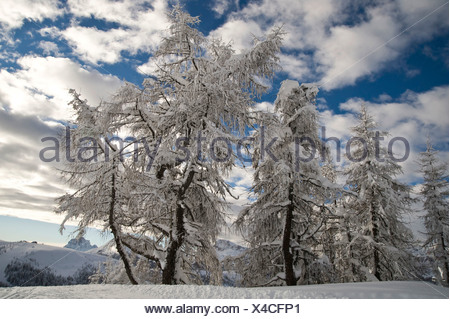 Snow-covered trees against clouds in a blue sky, Arabba, Bolzano-Bozen, Dolomites, Italy, Europe - Stock Photo