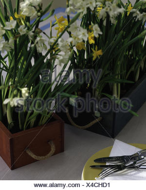 White jonquils and miniature daffodils in wooden boxes - Stock Photo
