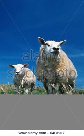 Texel sheep (Ovis ammon f. aries), ewe with lamb, standing side by side on pasture, Netherlands, Northern Netherlands, Texel - Stock Photo