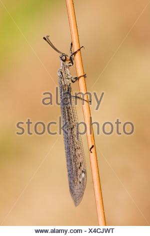 Antlion (Euroleon nostras), at a blade of grass, France, Corsica - Stock Photo