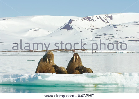 Walrus (Odobenus rosmarus). Two adults lying on ice - Stock Photo