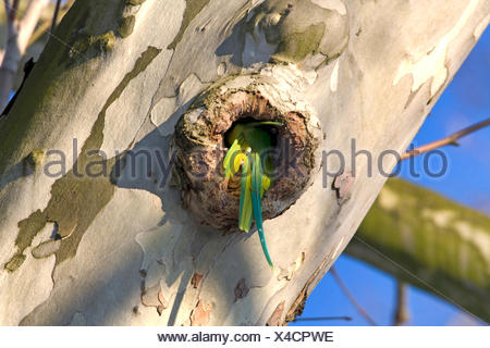 rose-ringed parakeet (Psittacula krameri), female going into a tree hole, Germany, Hesse, Biebricher Schlosspark - Stock Photo