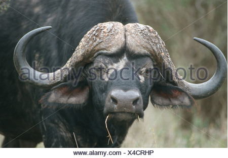Cape Buffalo, Syncerus caffer, Kruger National Park, Mpumalanga Province, South Africa - Stock Photo