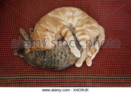 pets, sleep, sleeping, orange, curled, pussycat, cat, domestic cat, red, - Stock Photo