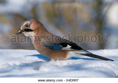 Jay Garrulus glandarius in winter, sitting on the snowy ground, Bavaria, Germany - Stock Photo