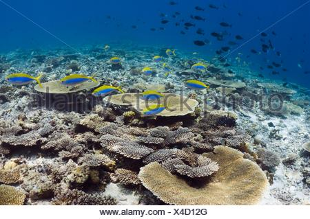Shallow reef top with mainly table corals Acropora sp.) and Yellowtop fusiliers (Caesio xanthonota). Maldives. - Stock Photo