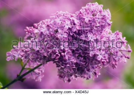 Syringa vulgaris Lilac Purple flowers - Stock Photo