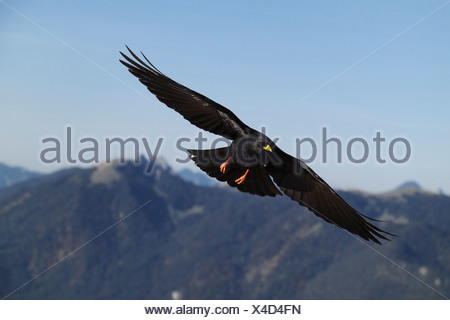 Alpine chough in flight (Pyrrhocorax graculus), mountain peaks at the back, Alps, Upper Bavaria, Germany, Europe - Stock Photo