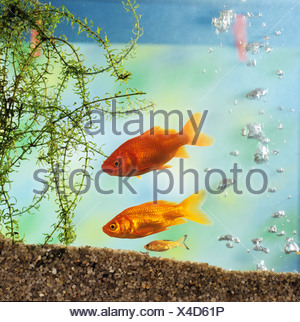 two goldfishes and cub / Carassius auratus - Stock Photo