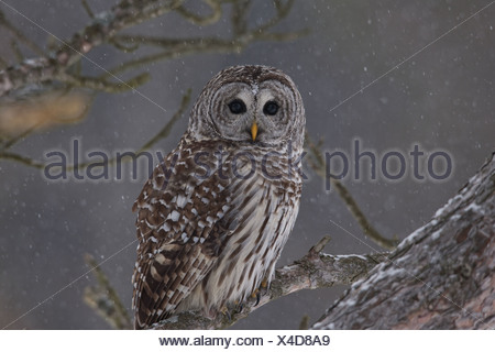 Barred Owl perched on a branch, Ontario Canada, Winter - Stock Photo
