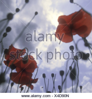 corn poppy clouds nature botany plant flowers bloom-plants Rosopsida Eudicots poppies gossip-roses bloom buds stems capsules - Stock Photo