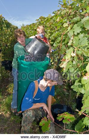 Grape gathering (Blauer Portugieser and Dornfelder) in Unfinden, Hassberge, Lower Franconia, Bavaria, Germany - Stock Photo