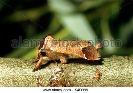 Chocolate-tip (Clostera curtula), imago on twig, Germany - Stock Photo