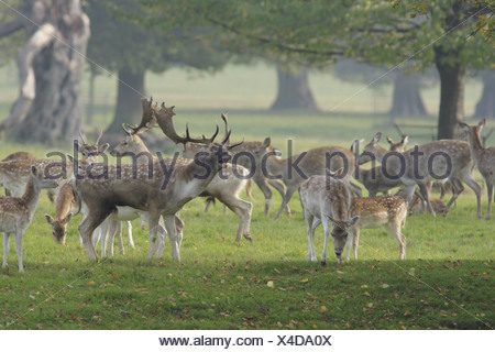 Fallow Deer Dama dama buck roaring surrounded by herd rival buck immature buck does fawns during rutting season Studley Royal - Stock Photo