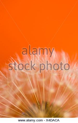 Details of a Dandelion (Taraxacum officinale) - Stock Photo