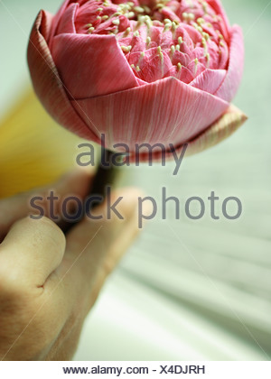 Close-up of a person's hands holding a lotus flower - Stock Photo