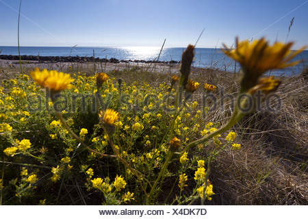 Sickle alfalfa sickle medick yellow lucerne yellow flowered stock sickle alfalfa sickle medick yellow lucerne yellow flowered alfalfa medicago falcata mightylinksfo