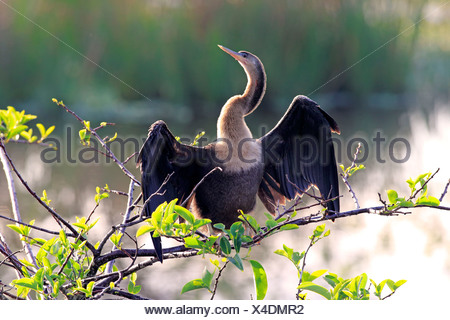 Anhinga adult female on branch drying feathers Wakodahatchee Wetlands Delray Beach Florida USA Northamerica / (Anhinga anhinga) - Stock Photo