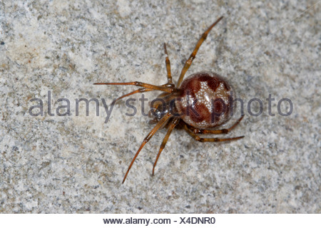 comb-footed spider (Steatoda triangulosa), female sitting on a stone - Stock Photo