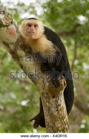 White-faced Capuchin Monkey, Cebus capucinus, Costa Rica, Central America - Stock Photo
