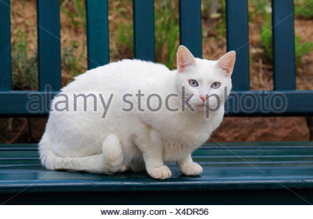 domestic cat, house cat (Felis silvestris f. catus), whits cats sits on a bench in the garden, Germany - Stock Photo