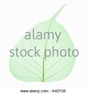 bodhi leaf vein isolated - Stock Photo