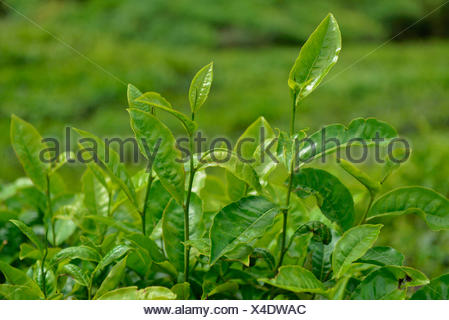 Tea plant, Sungai Palas, Boh Tea Estate, Cameron highlands, Malaysia - Stock Photo