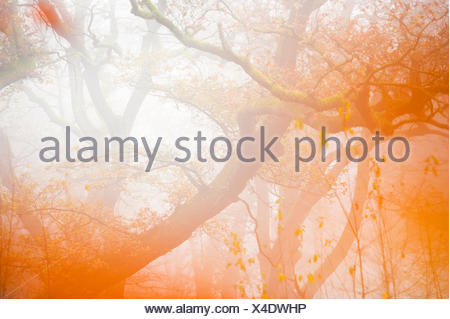 centuries old oak trees in the Netherlands during autumn - Stock Photo