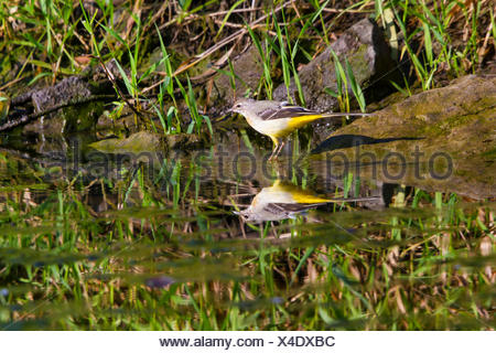 grey wagtail (Motacilla cinerea), on the feed, mirroring on water surface, Switzerland, Lake Constance - Stock Photo