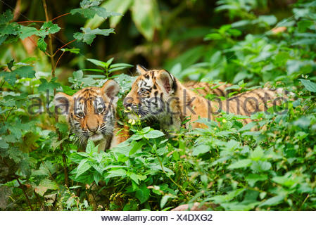 Siberian tiger, Amurian tiger (Panthera tigris altaica), two cups in thicket - Stock Photo