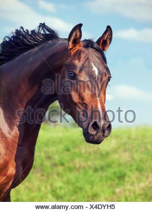 portrait of wonderful bay  arabian colt in movement - Stock Photo