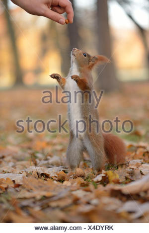Squirrel (Sciurus vulgaris) standing on its hind legs, stretching upward, being fed by hand, in an urban park in autumn, Leipzig - Stock Photo