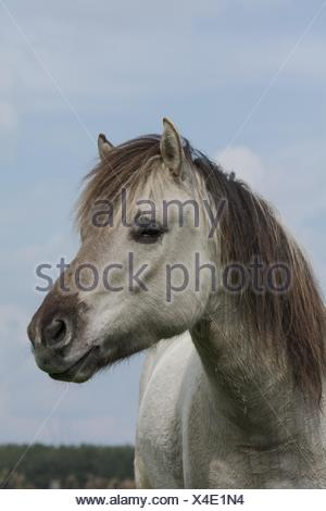 Liebenthaler horse Stock Photo