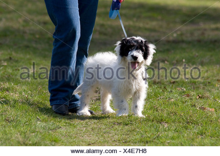 owner with cockerpoo pup on lead - Stock Photo