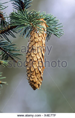 Norway Spruce is widely planted for its wood - Stock Photo