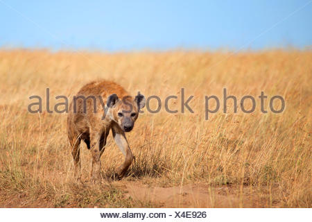 spotted hyena (Crocuta crocuta), walks in savannah, Kenya, Masai Mara National Park - Stock Photo