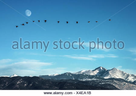 Flock of geese flying in front of the moon  over peaks of the Rocky Mountains, Colorado - Stock Photo