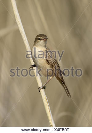 Great Reed Warbler - Acrocephalus arundinaceus - Stock Photo