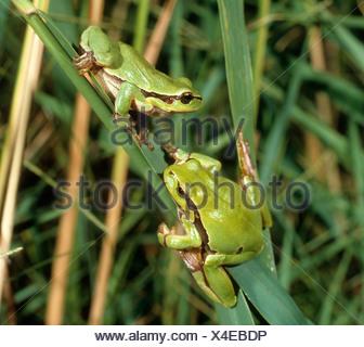 two European tree frogs on reed / Hyla arborea - Stock Photo