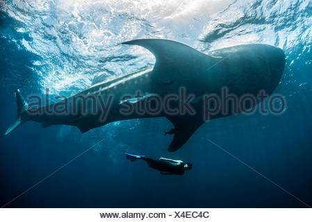 Whale shark (Rhincodon Typus) and diver swimming near surface of water, Contoy Island, Mexico - Stock Photo