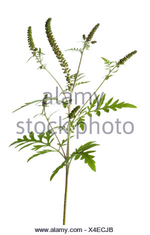 Common Ragweed plant on white background. - Stock Photo