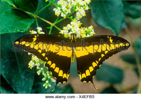 Thoas Swallowtail Butterfly (Papilio Thoas), dorsal view, Canada to Panama, Cuba - Stock Photo