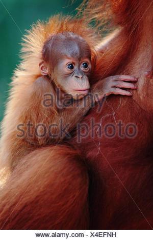 Sumatran Orang utan baby clinging to mother portrait {Pongo pygmaeus abelii} Gunung Leuser NP, Sumatra, Indonesia - Stock Photo