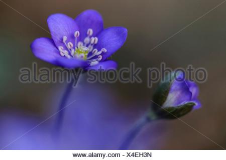 liverwort (anemone hepatica), germany