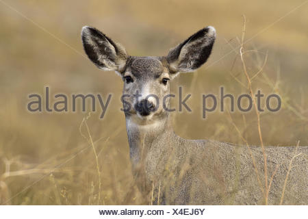 A front view of a female mule deer, Odocoileus hemionus, through the thick brown vegetation in rural Alberta Canada. - Stock Photo