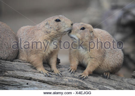Black-tailed prairie dogs, Cynomys ludovicianus - Stock Photo