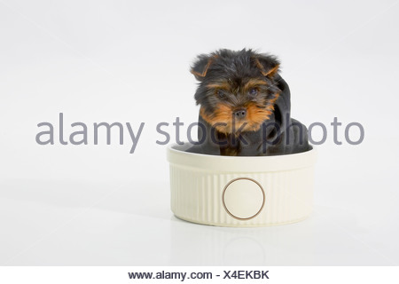 Yorkshire Terrier dog wearing a black hooded sweatshirt sitting in a bowl - Stock Photo