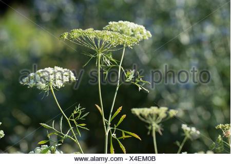 bullwort, toothpick ammi, Bishop's flower (Ammi majus), blooming