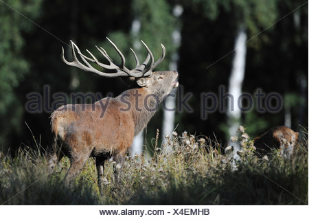 Red deer (Cervus elaphus), roaring stag during rutting season, state game reserve, Lower Saxony, PublicGround - Stock Photo